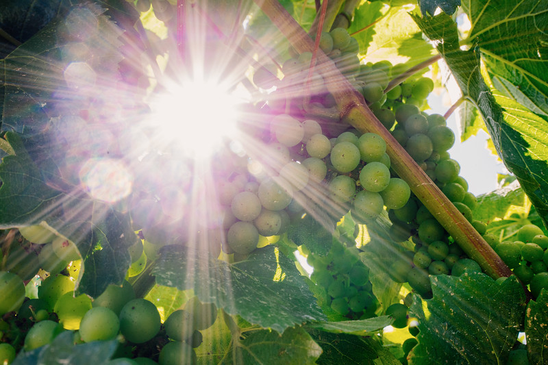 Grapes and sun beams, Anderson Valley, CA