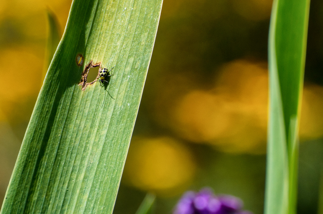 Green beetle in garden, Mar Vista Cottages, Gualala, CA