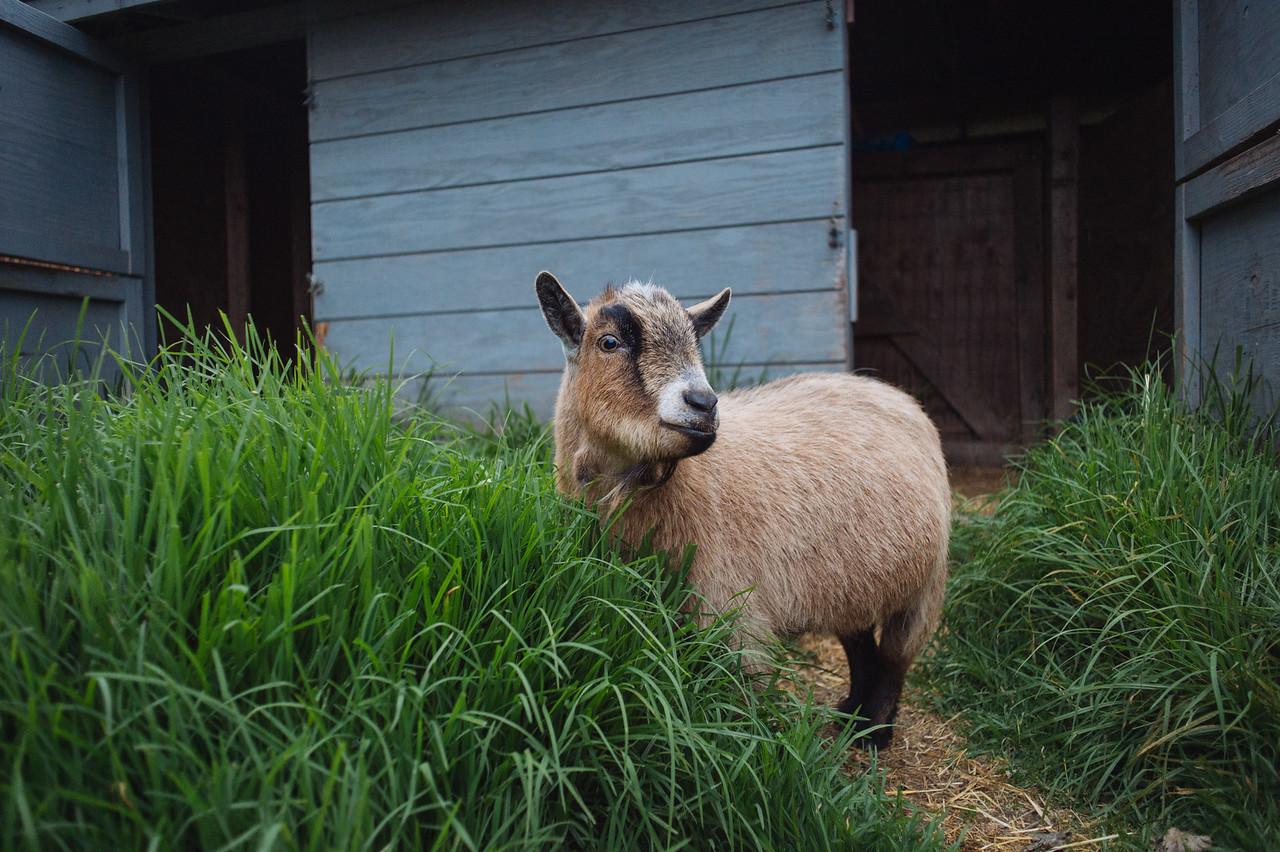 Pygmy goat, Mar Vista Cottages, Gualala, CA
