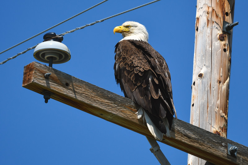 Bald eagle on telephone pole, Upper Klamath Lake