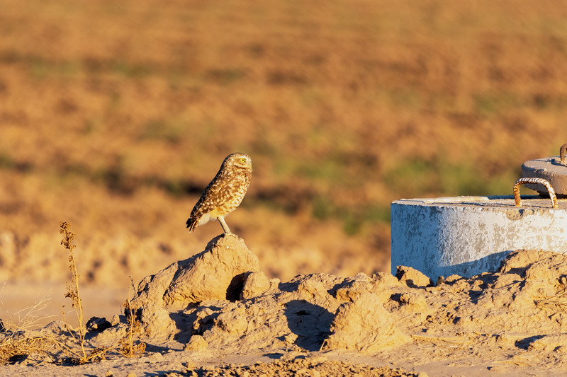 Burrowing owl in Imperial County