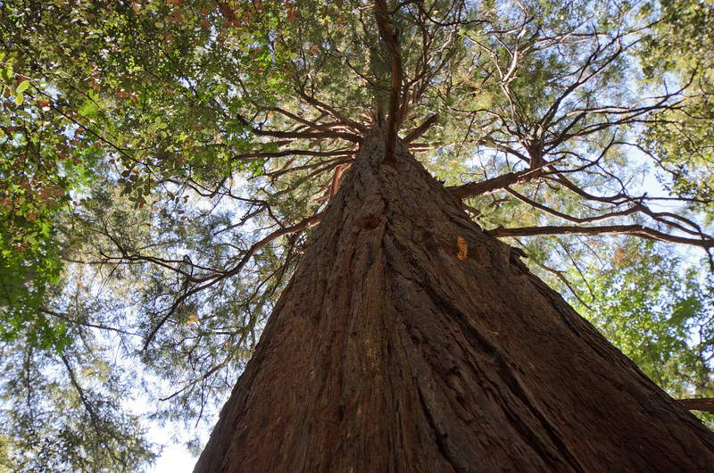 A giant sequoia tree planted near Mt. Baldy Village in Southern California.