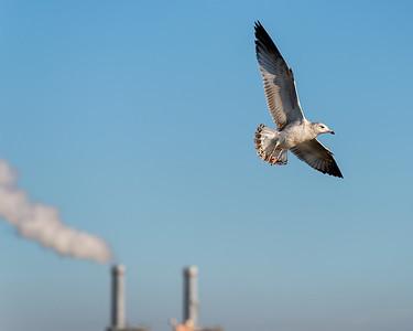 Sea gull and smoke stack, Alamitos Bay, Long Beach.