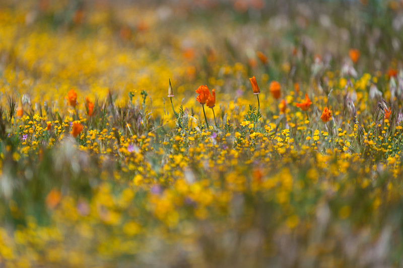 March 2017 at California Poppy Reserve in Lancaster, California.