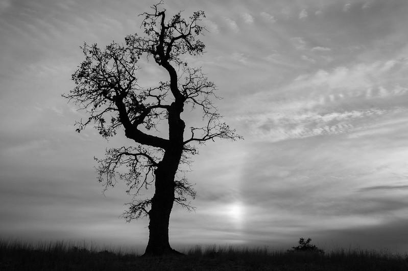 Barren tree, black and white
