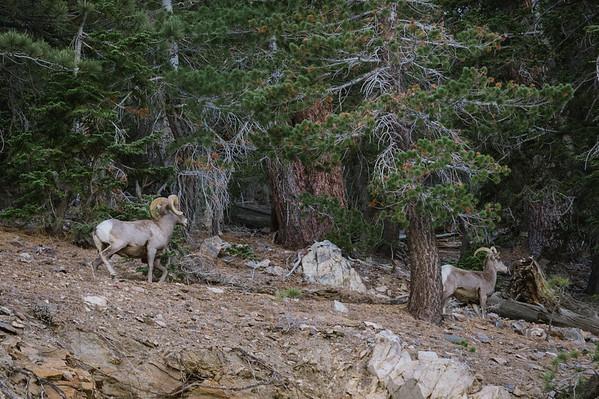 Bighorn Sheep at Dawson's Saddle, Angeles National Forest, San Gabriel Mountains.