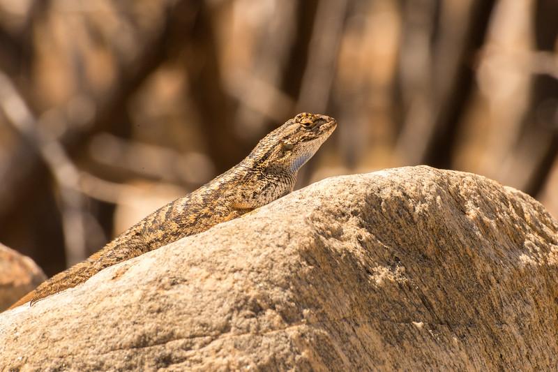 Lizard, Mojave Desert.