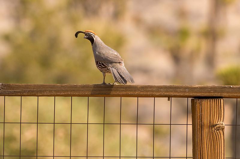 Quail, Rimrock Ranch, Mojave Desert.