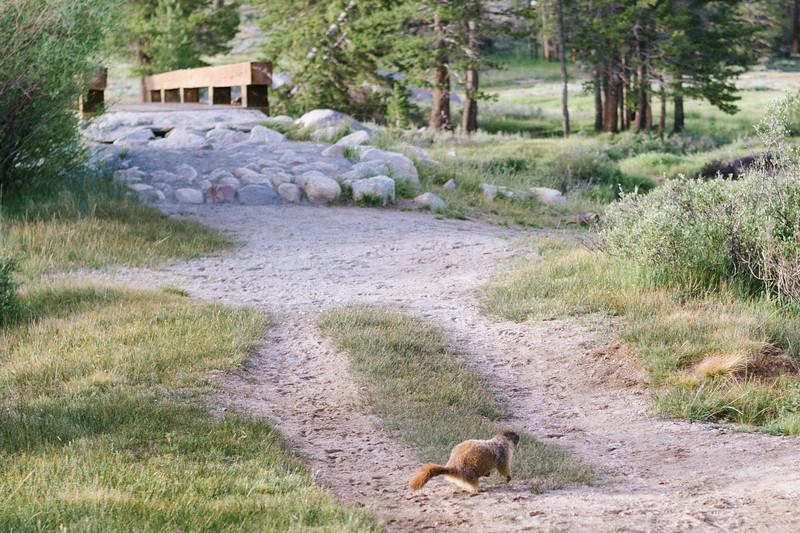 Marmot, Tuolumne Meadows, Yosemite