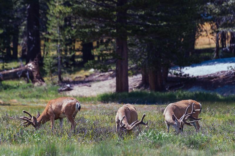 Black-tail deer grazing, Yosemite National Park