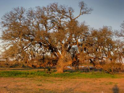 Hackberry Oak