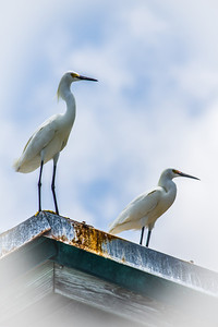 Two White Egrets Rooftop