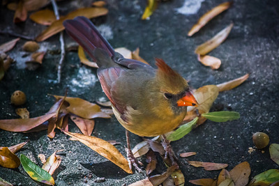 Cardinal Wondering