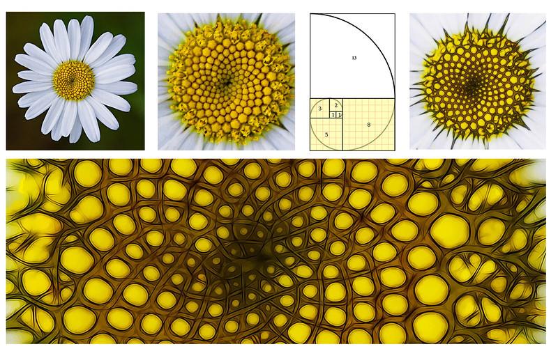The Fibonacci sequence in an Oxeye daisy.