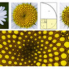 The Fibonacci sequence in an Oxeye daisy.