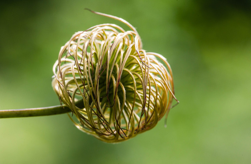 Feathery ball fruit of a Clematis flower