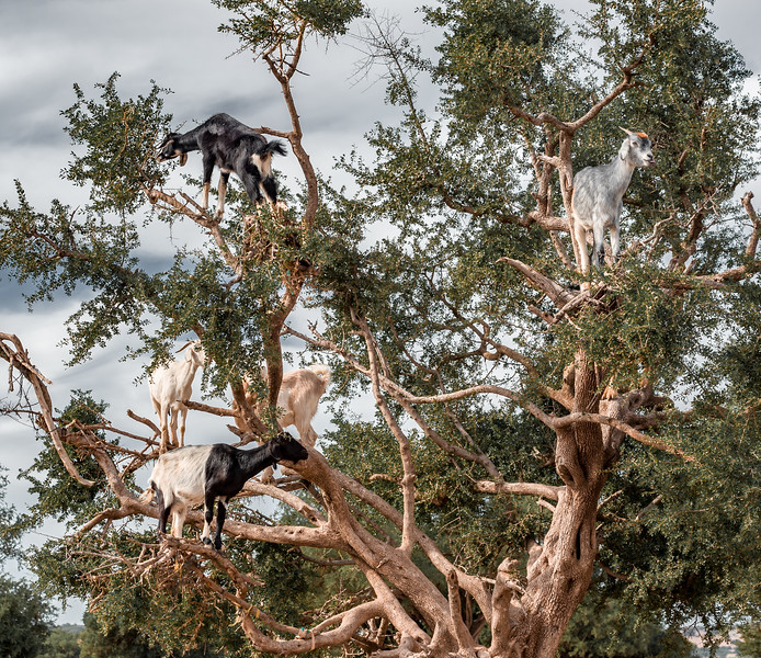 Goats in Trees - Morocco