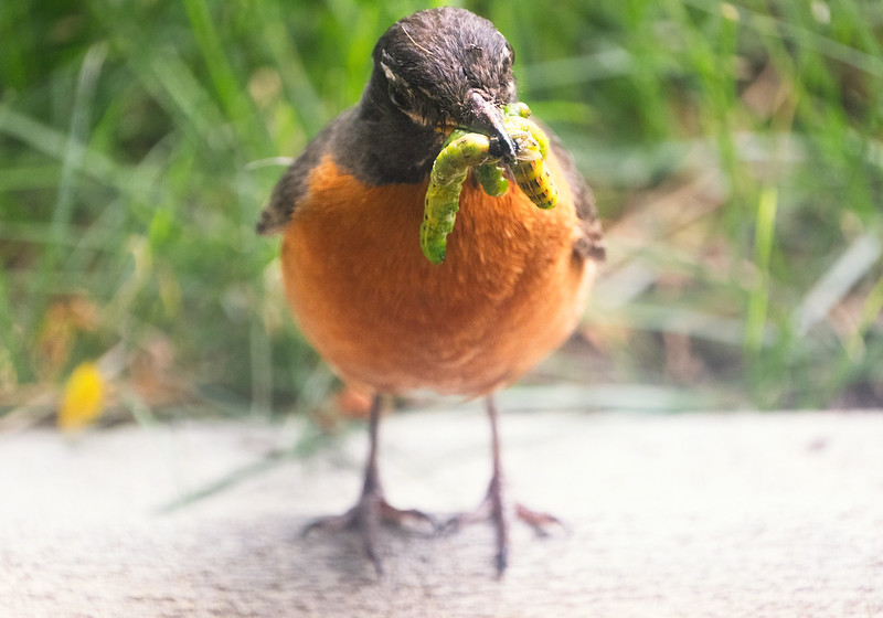 Lunchtime For Robin