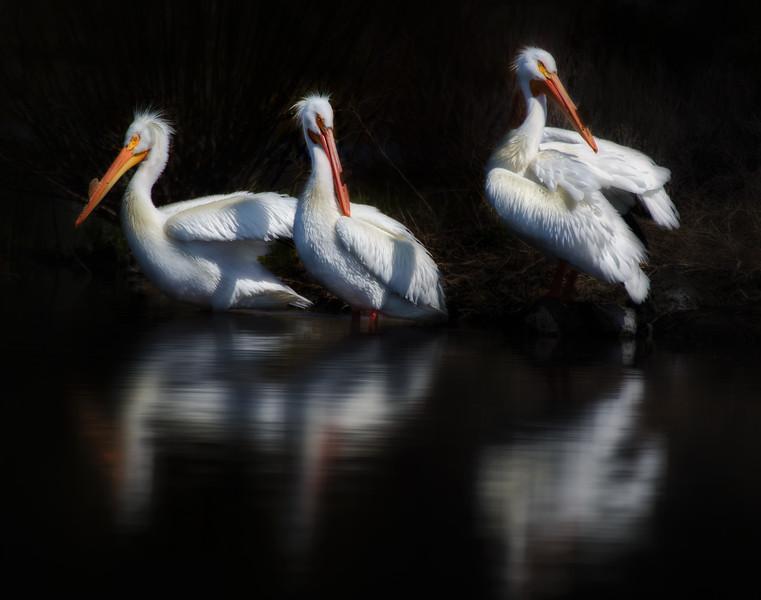 We 3 Pelicans