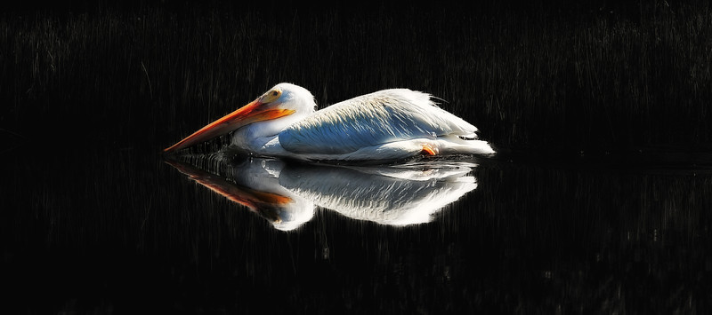 Reflections of Pelicandom