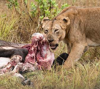 Z_2_2006_A_Lioness eating a Wildebeest
