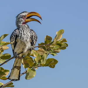 G_1_2006_B_Southern yellow-billed Hornbill