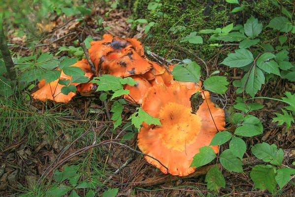 Ground Fungus