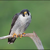Peregrine falcon, Catskill Mountains of NY