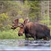 moose-130