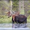 moose-063011-129