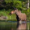 moose-9762