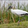 Wood Stork, Viera Wetlands