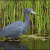 Little Blue Heron, Loxahatchee River