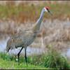 Sandhill crane, Viera Wetlands