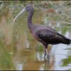Glossy Ibis, Wakodahatchee wetlands