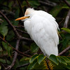 Catle egret, Green Cay