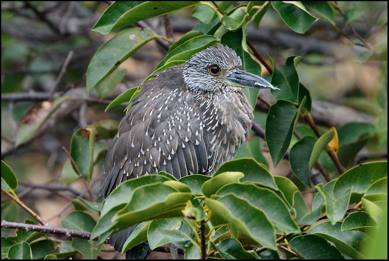 Black-crowned night heron juvy, Wakodahatchee