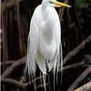 Great Egret, Hutchinson Island