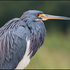 Tricolored heron, Green Cay