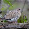 White-winged dove, Wakodahatchee Wetlands