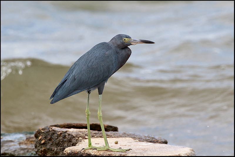 Little Blue Heron, Hutchinson Island
