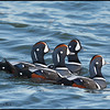 Harlequin Ducks- Halibut Point, Mas