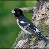 Rose-breaseted grosbeak