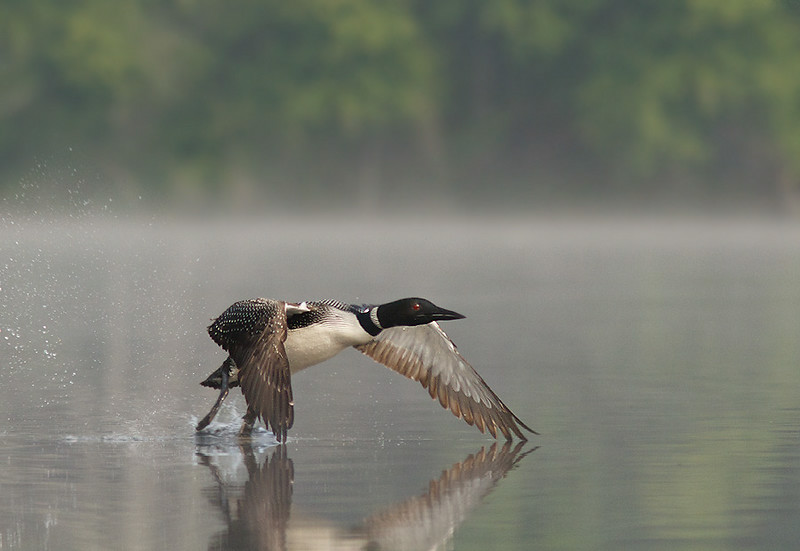 Common Loon (s)