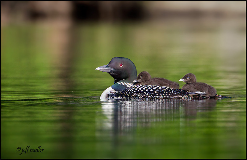 Common Loon (s)
