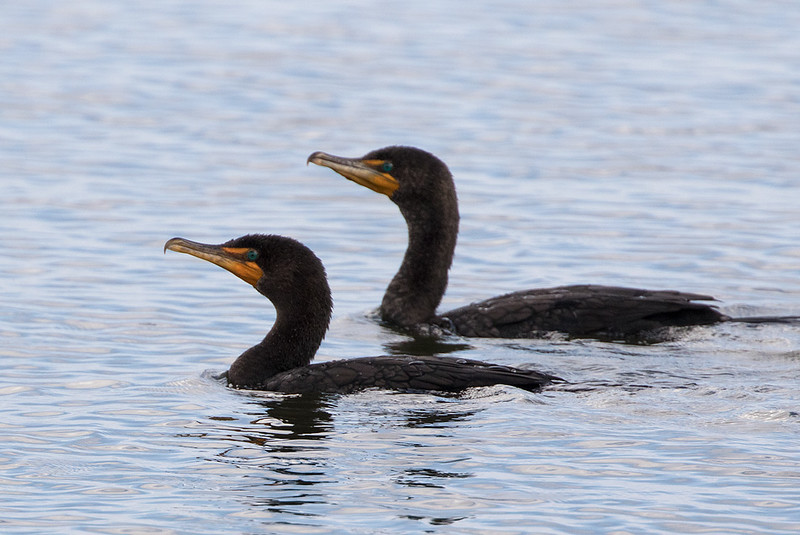 Doubel-crested cormorant