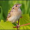 Grasshopper sparrow