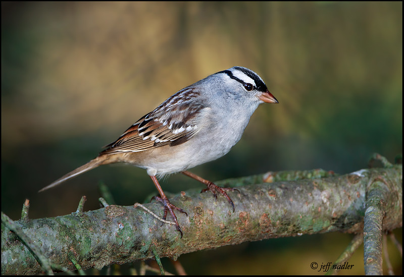 White-crowned sparro
