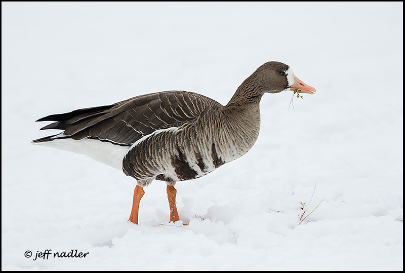 Greater white=fronted goose
