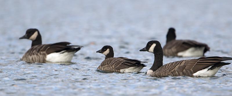 Cakling goose, subspecies: Cackling